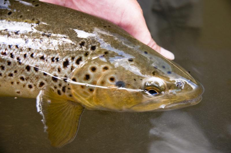 Ouverture de la pêche truite 2019