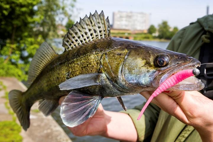 Pêche au sandre : comment leurrer ce poisson difficile ?