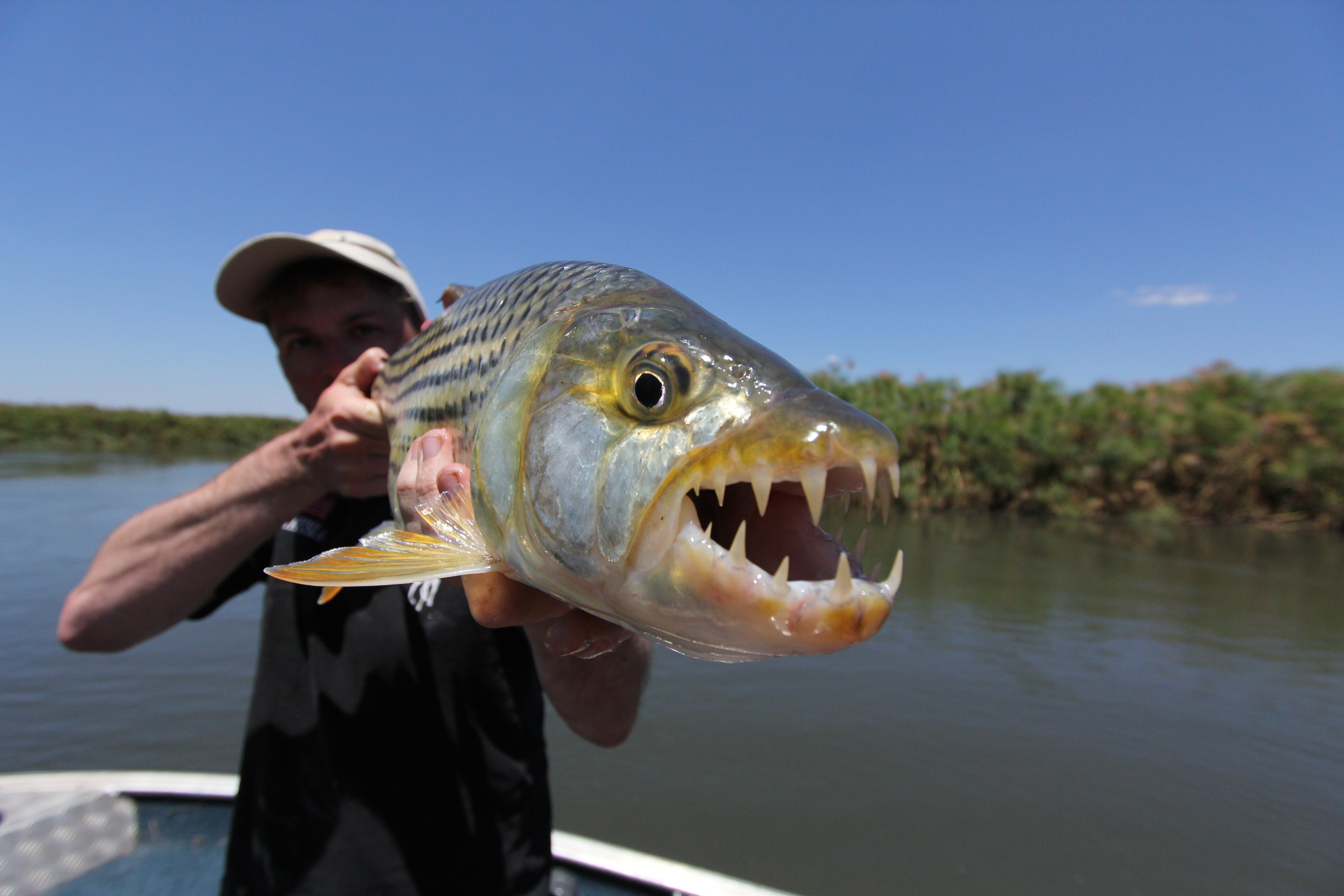 Tigerfish : les mâchoires de l'Okavango